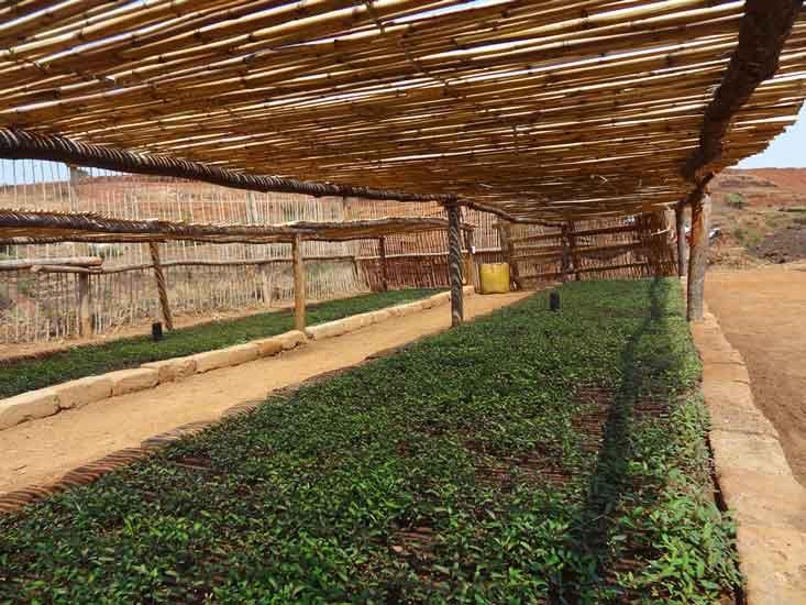 支持普罗旺斯天然油橄榄树种植业的发展